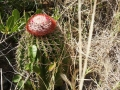 turksheadcactus-stjohn